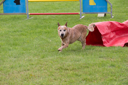 an Australian cattle dog in a canine competition of agility passage in the tunnel