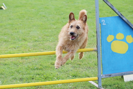 the little brown dog jumps the obstacles of agility contest