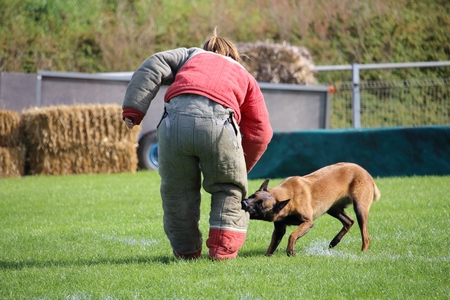 the dog malinois must watch the attacker for the canine sport contest Stock Photo