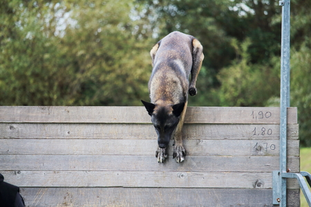 a Malinois Belgian Shepherd dog jumps to a high fence for a dog competition