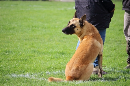 a Malinois Belgian Shepherd Dog does not move while he speaks to the judge
