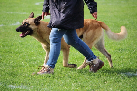 the Belgian Shepherd Dog Malinois walks on the feet of his master during a dog contest Stock Photo