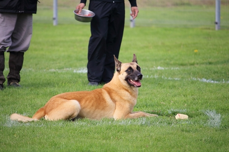 a Malinois Belgian Shepherd dog
