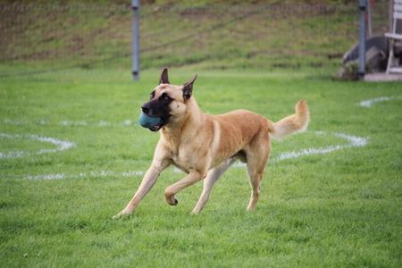 the Belgian Shepherd Dog Malinois exercises Stock Photo