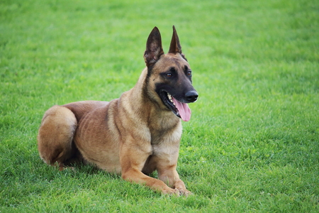a Belgian Malinois sheepdog lying in the grass he does not move