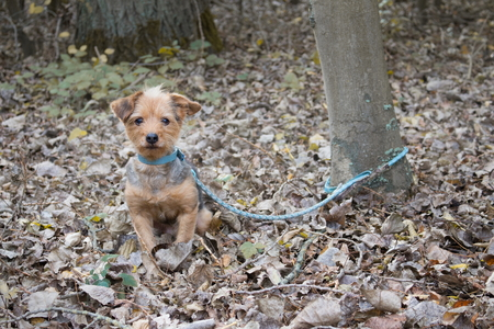 the little dog is tied to a tree to be abandoned 版權商用圖片 - 94961078
