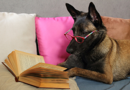 A Malinois Belgian Sheepdog reads a book with a pair of glasses on the muzzle lying on cushions in fashion cocooning