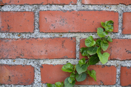 ivy plant climbing on a red brick wall Foto de archivo