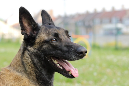 face of a Malinois Belgian Shepherd dog Stock Photo