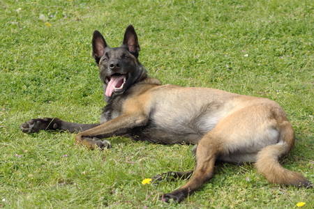 a Malinois Belgian Shepherd dog in a couhed position without moving with a keen eye and waiting for orders