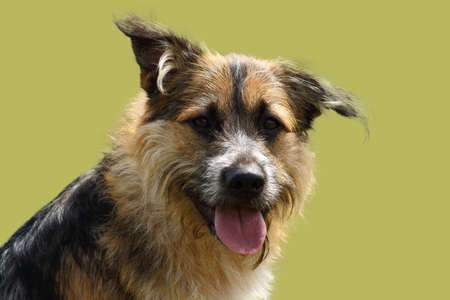 face of an attentive shepherd dog with bright look on green studio background