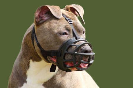 faccia di un cane american staffordshire terrier con museruola Archivio Fotografico