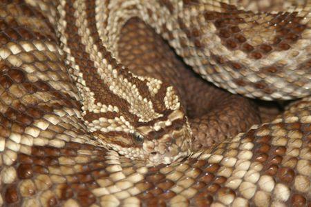 Coiled Viper