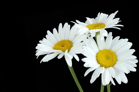Three daisy flowers, isolated on black