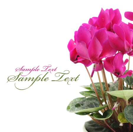 Pink cyclamen flower with copy space Stock Photo