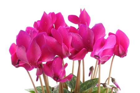Cyclamen flower with copy space Stock Photo - 8918434