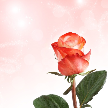 One red rose with copy space Stock Photo - 8918402