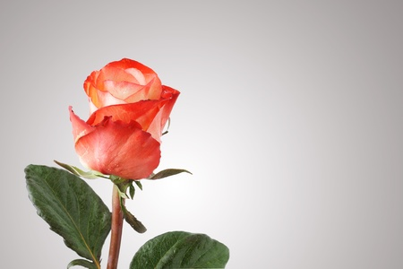One red rose with copy space Stock Photo - 8918384