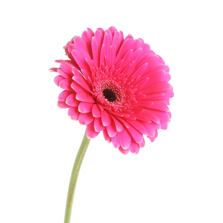 Pink gerbera flower, isolated on white Stock Photo - 8918392