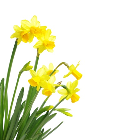 Yellow daffodils isolated on white Stock Photo