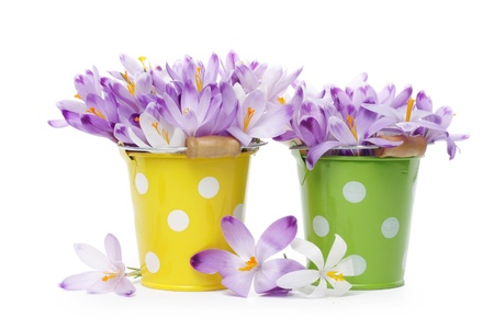 Crocus flowers in tin buckets, isolated on white Stock Photo - 9081683