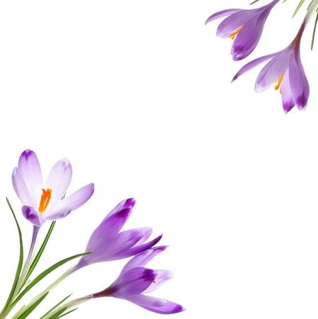 クロッカスの花、白で隔離されます。