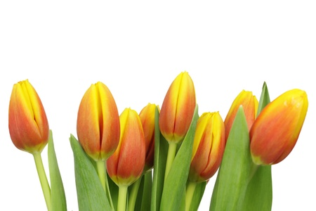 Beautiful tulips with copy space isolated on white