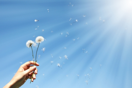 dandelion wind: Dandelion clocks in female hand Stock Photo