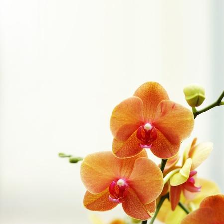 flores exoticas: Flor de orqu�deas naranja contra brillante fondo Foto de archivo