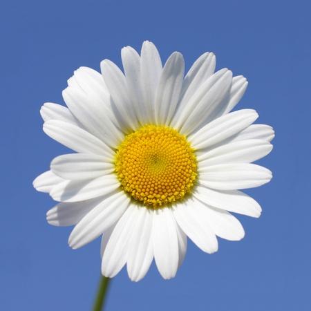 晴れた日のデイジーの花のクローズ アップ