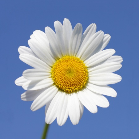 Close up of daisy flower in sunny day Stock Photo