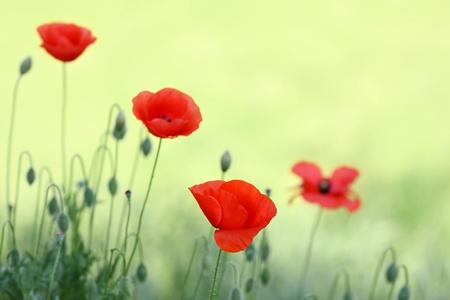 beautiful poppy flowers in nature photo