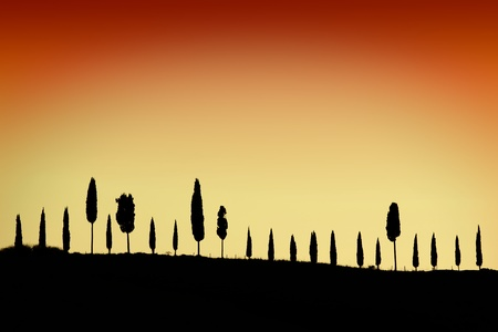 cypress tree: Cypress alley in Tuscany at sunset