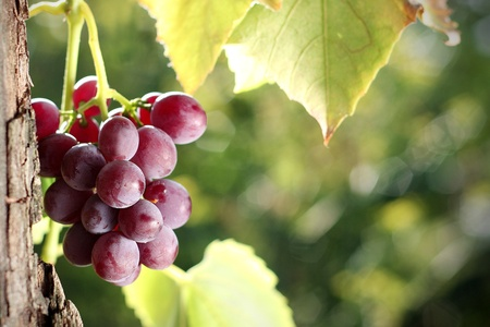 Red grape cluster in vineyard photo