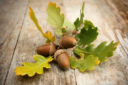 Oak acorns on wooden desk