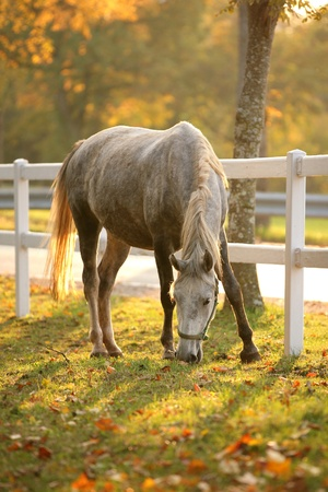 Lipizzan horse grazing in early autumn evening Stock Photo - 11118705