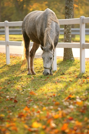 Lipizzan horse grazing in early autumn evening photo
