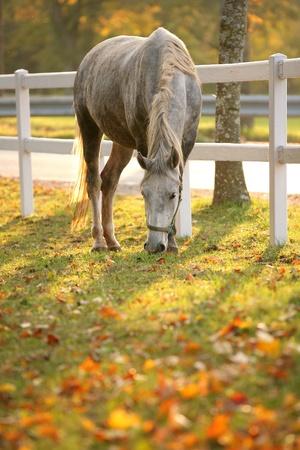 Lipizzan horse grazing in early autumn evening