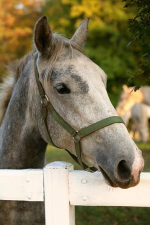 Lipizzan horse  in early autumn evening Stock Photo - 11118709