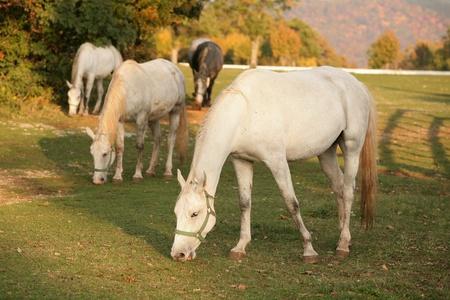 slovenia: Lipizzan horses grazing in early autumn evening