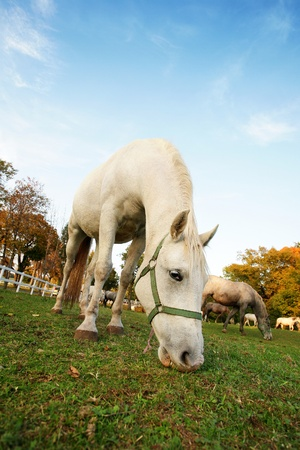 lipizzan horse: Lipizzan horse  in early autumn evening Stock Photo