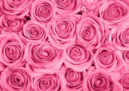 rosas rosadas: Imagen de fondo de rosas de color rosa