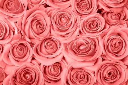 Background image of pink roses Stock Photo
