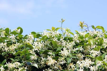 jessamine: Jessamine plant against blue sky Stock Photo