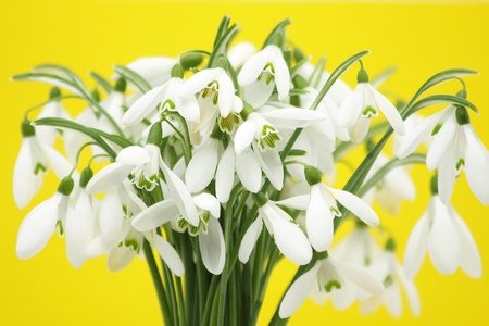 snow drops: Snowdrop flowers against yellow background