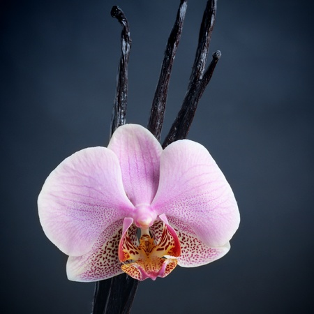 Vanilla sticks and orchid flower over dark background photo