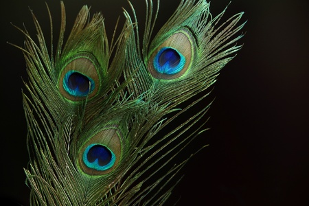Three peacock feathers against black background