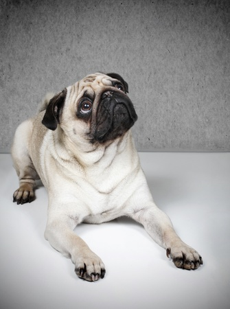 Pug looking upside to something Stock Photo - 12640198