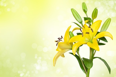 Yellow lily against bokeh background photo