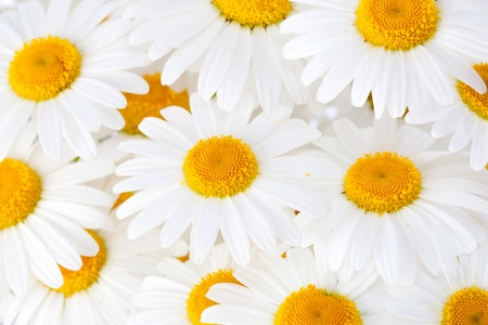 Beautiful marguerite flowers, blackground image Stock Photo - 13507949